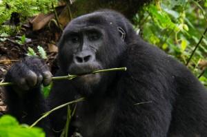 gorilla 2 (1 av 1)